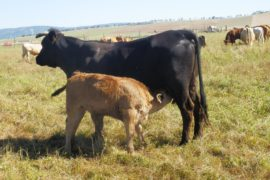 Vaca autoctona